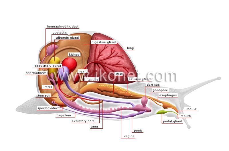 Snail shell anatomy